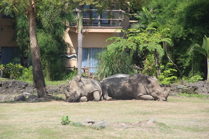 Домашние носороги 1