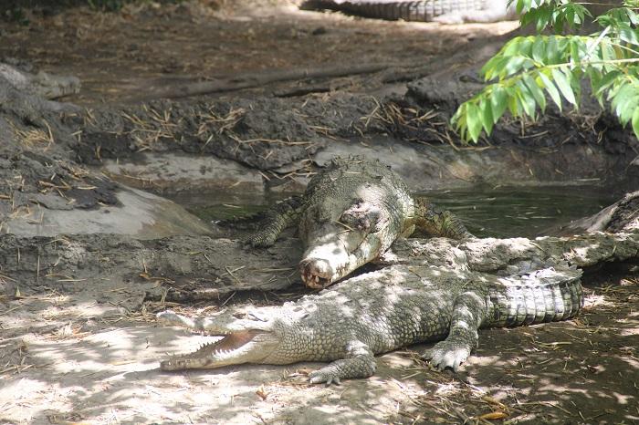 Улыбчивый крокодил 1