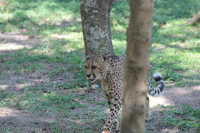 Гепард перед прыжком 1
