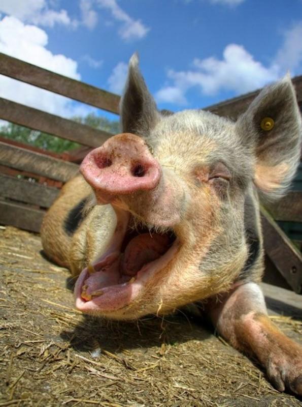 Оргазм у свиньи длится до 30 минут