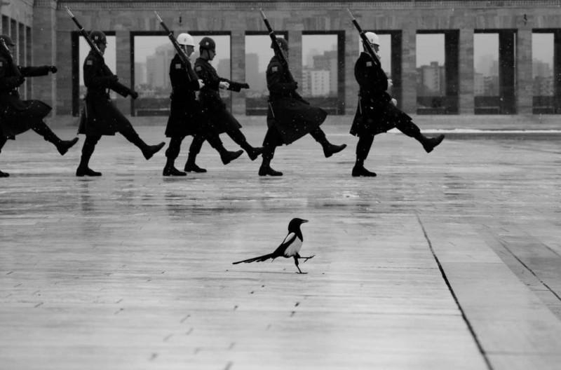 Марширующая сорока. Аныткабир, Анкара. Фотограф Fatih Çindemir