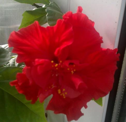 красный гибискус