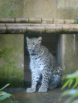 Гепард1
