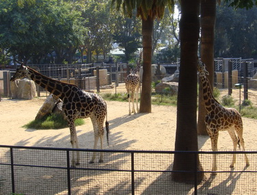 Жирафья семья