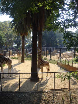 жирафенок