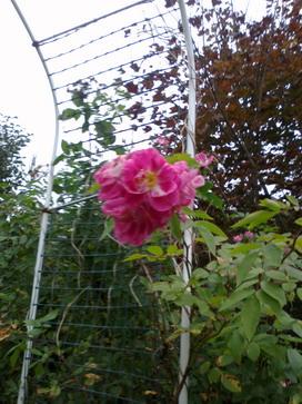 Роза канадка