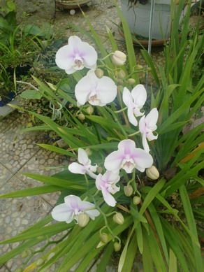 орхидеи1