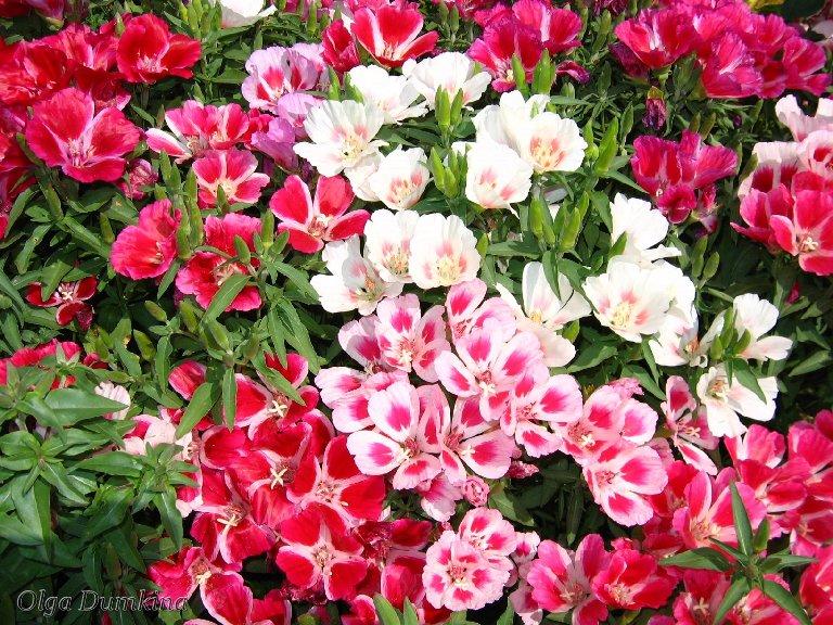 Рассада цветов: правила выращивания 78
