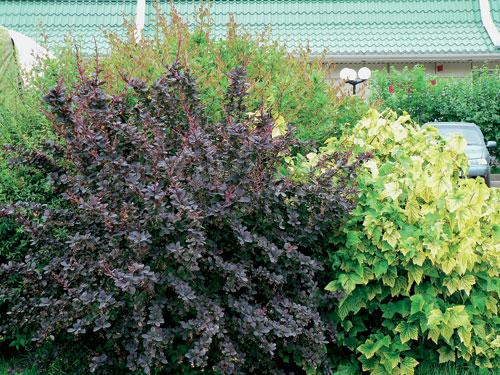 барбарис пурпурный полезные свойства