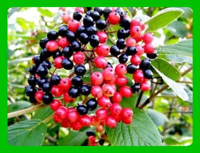 Калина-гордовина плоды
