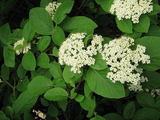 Калина-гордовина цвет