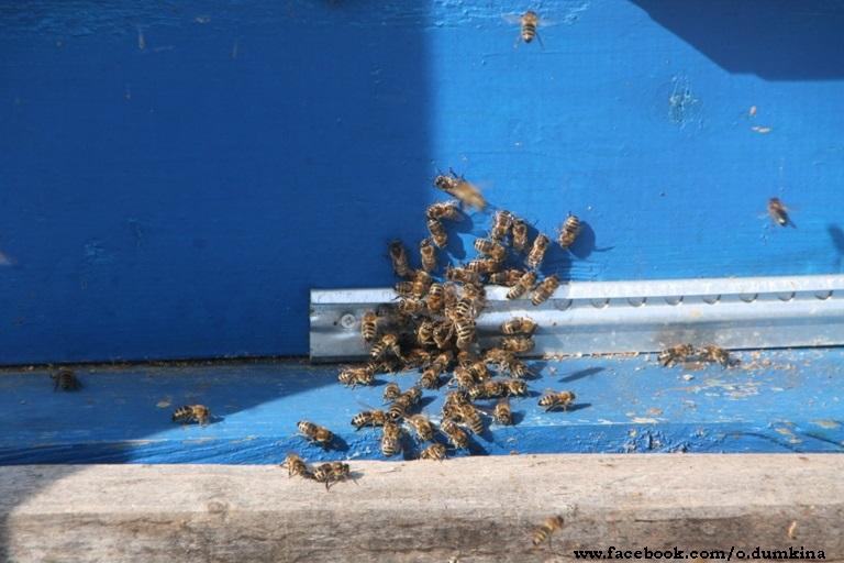 Пасека Пересадка пчёл (1)