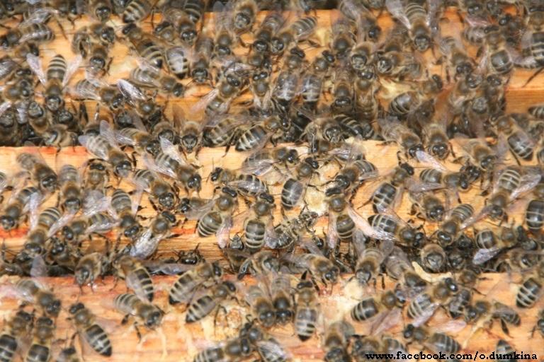 Пасека Пересадка пчёл (5)
