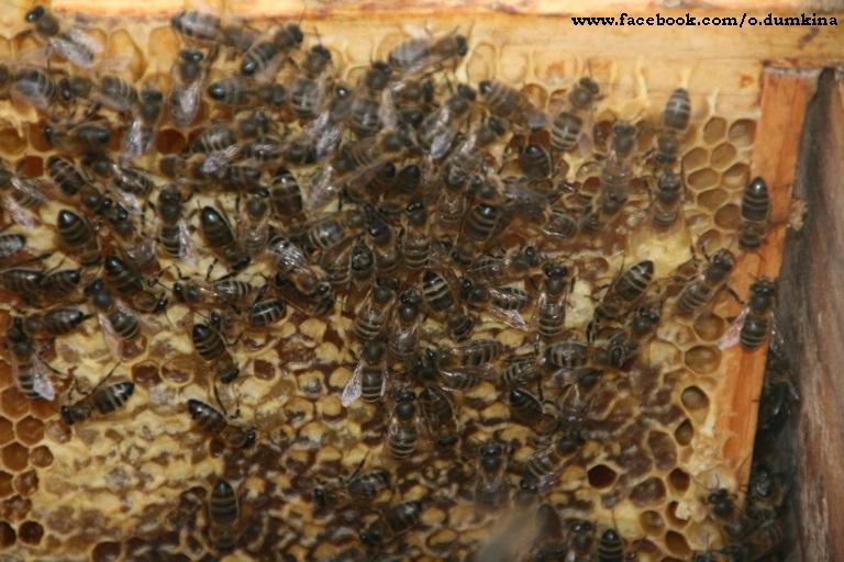 Пасека Пересадка пчёл (8)