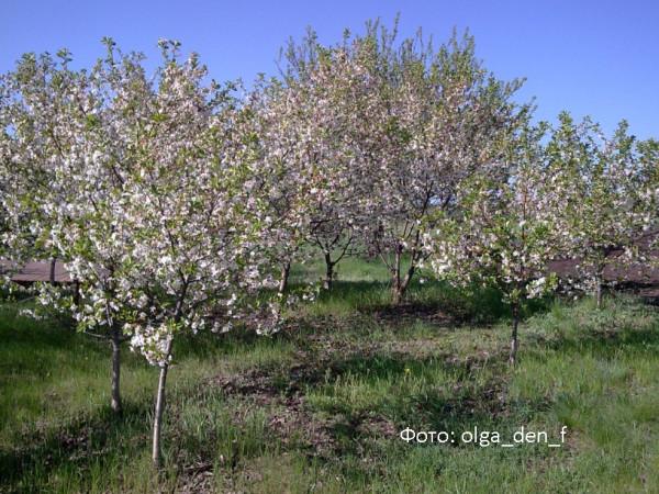 У вишневому садочку 1