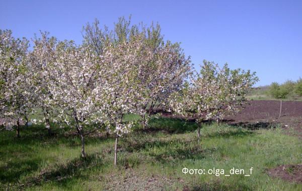 У вишневому садочку 2