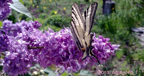 Метелик 6