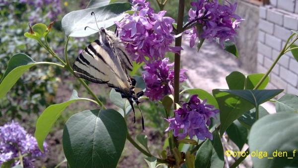 Метелик 4