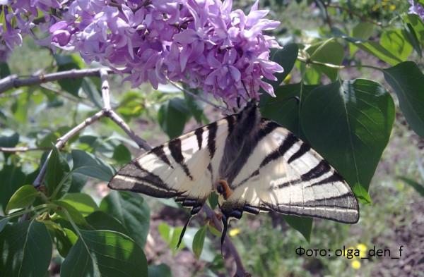 Метелик 5