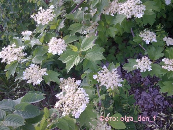 Цвіте калина 1