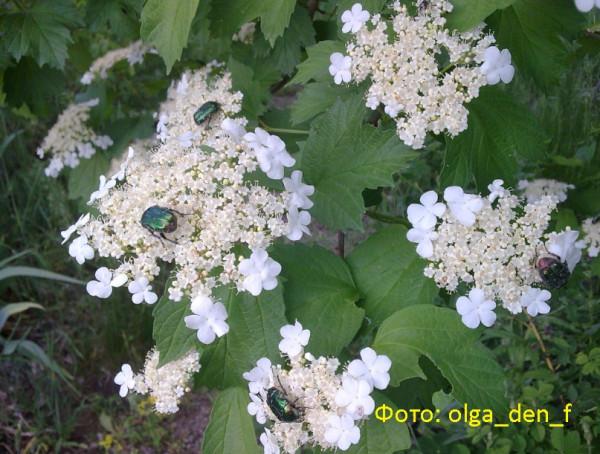 Цвіте калина 2