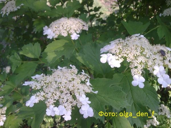 Цвіте калина 3