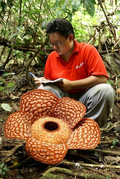2-большой цветок раффлезия Арнольда
