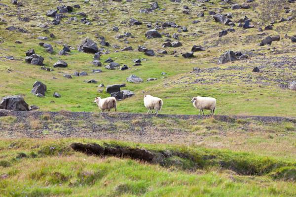 вівці і обсідіани