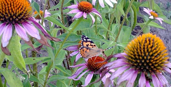 Метелик 1