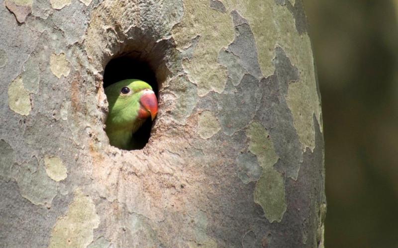 Chelsea-parakeet-in-tree-GARDENING-xlarge_trans++eo_i_u9APj8RuoebjoAHt0k9u7HhRJvuo-ZLenGRumA