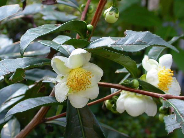Camellia-sinensis : чай