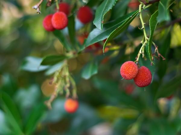 земляничное дерево : арбутус