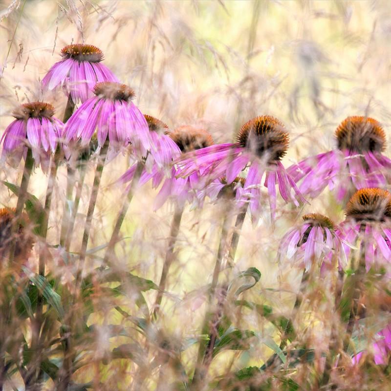 Echinaceas-by-Nigel-Burkitt-142846