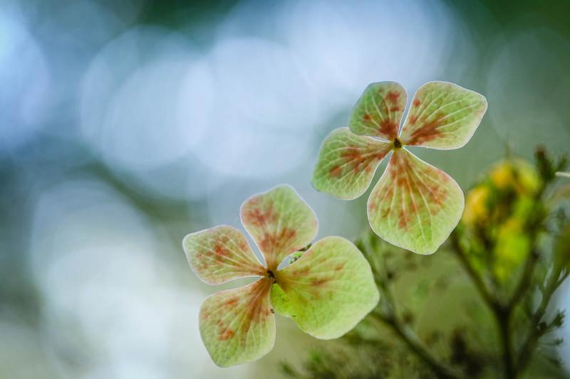 Hydrangea-by-Yang-Yu-Wei-164311