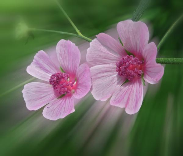 Алтей розовый