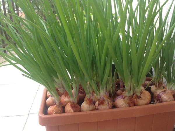 зеленый лук-севок