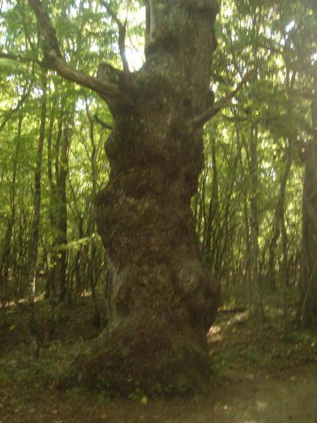 3 старый дуб