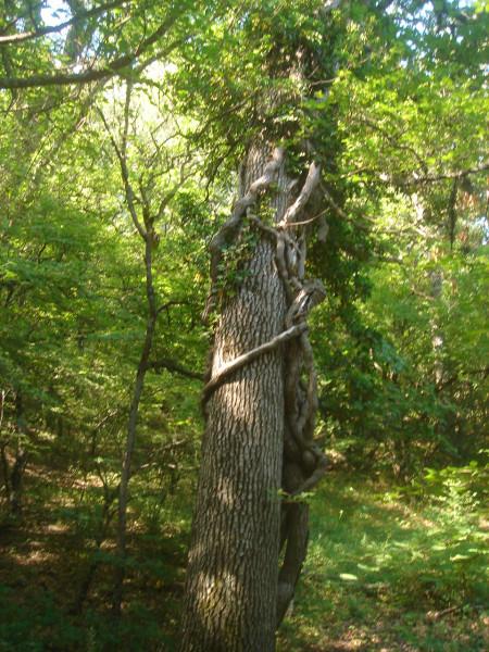4 плющ на дереве