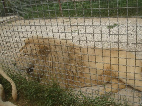 21 белый лев