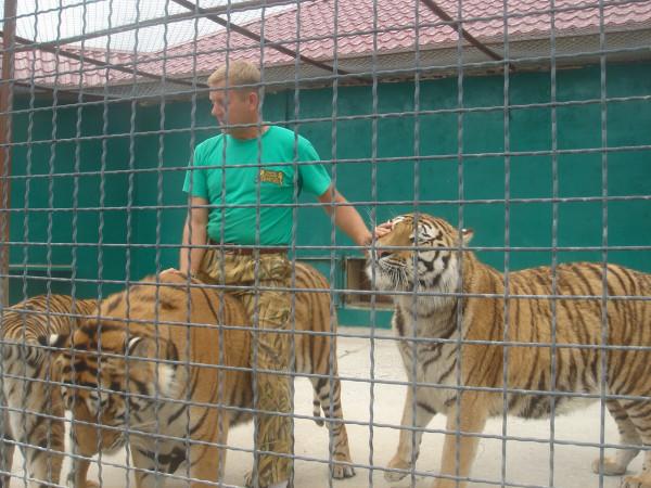 23 у тигров