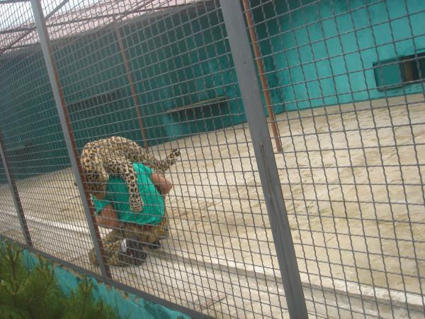 26 у леопарда Самсона