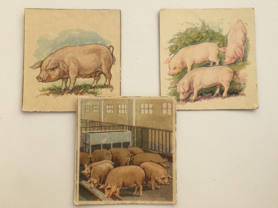 pigs9_1.jpg