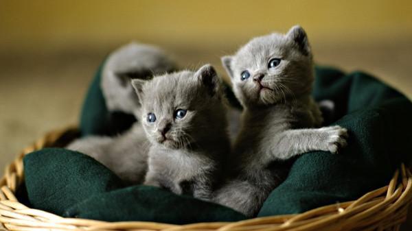 grey-kittensdownload-grey-kittens-animal-basket-cat-feline-kitten-sweet-akrhxghr