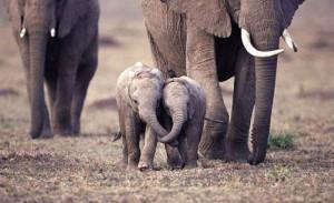братья-слоны
