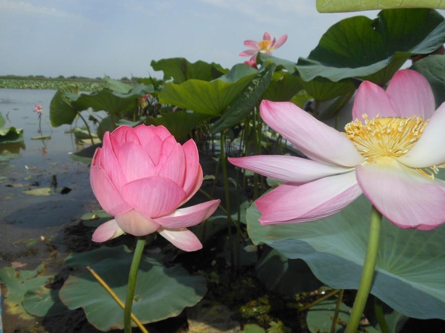 Лотос - каспийская роза.