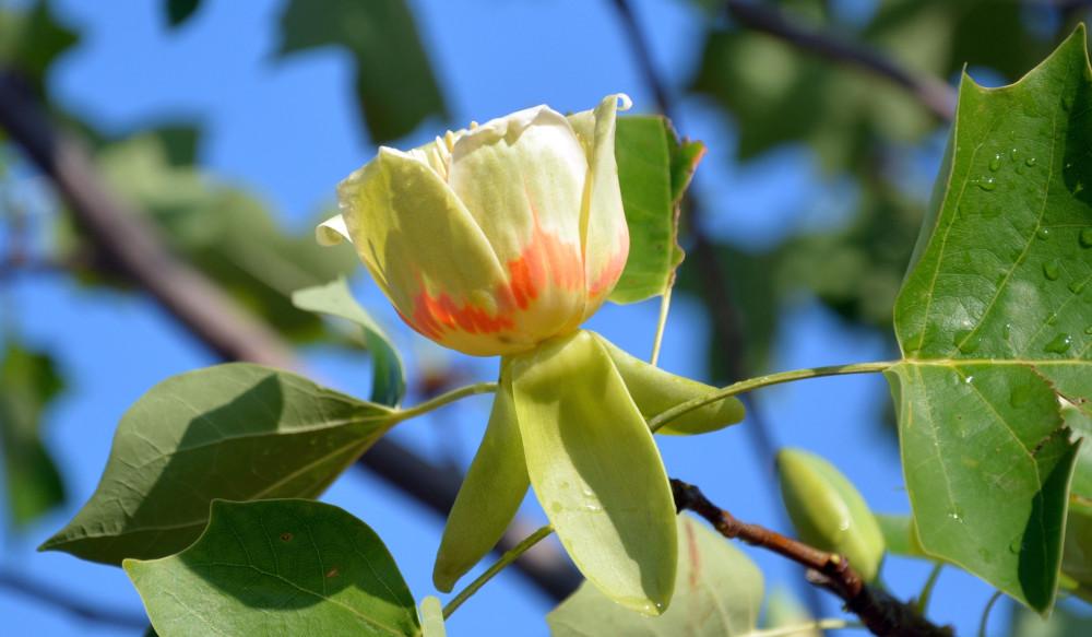 Тюльпановое дерево.