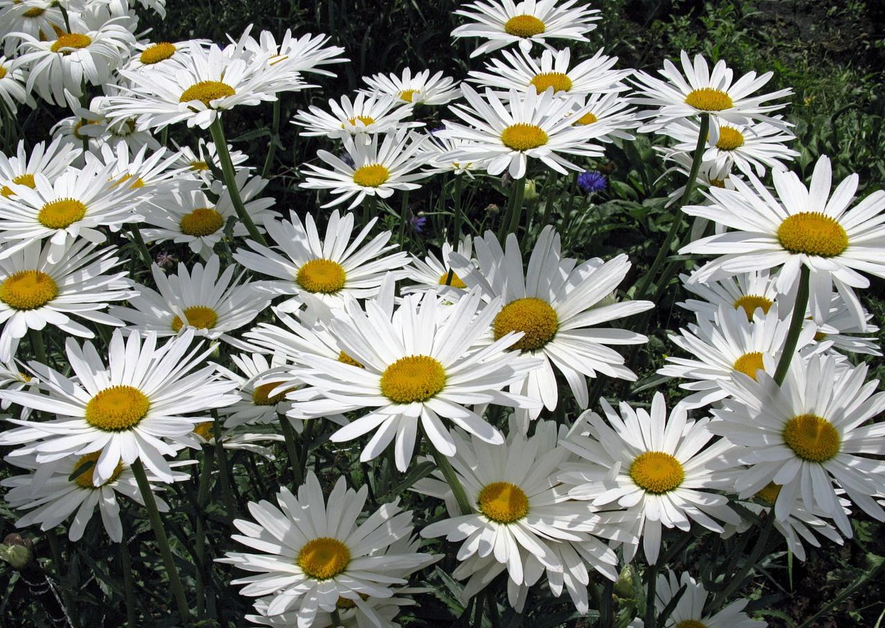 михайлов полевые цветы слушать