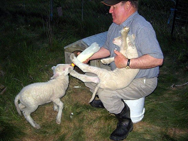 фермер кормит овечек молоком