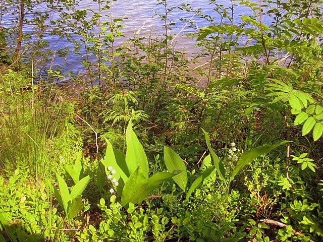 Ландыши в Варкаусе часто растут по берегам озера Уннукка