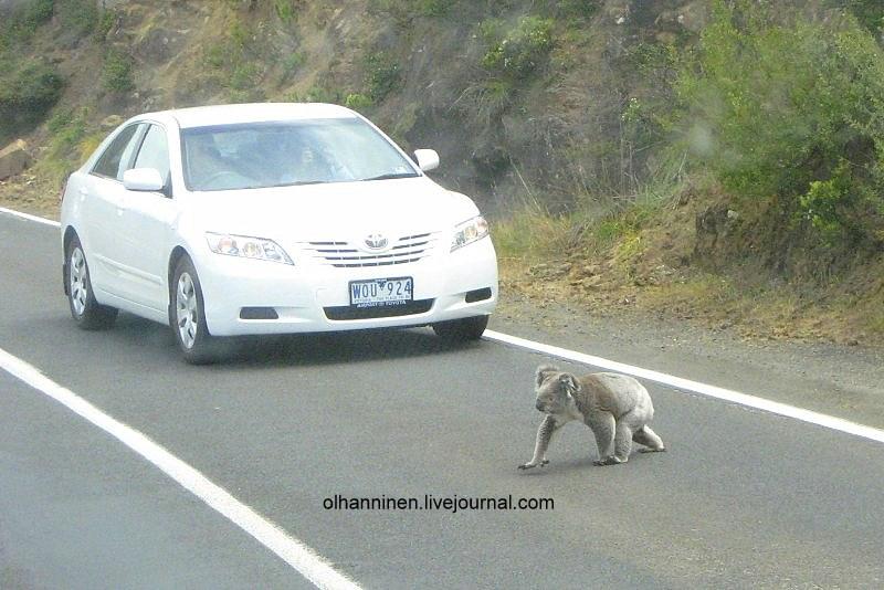 Коала осмотрелась кругом и вышла на автомобильную дорогу